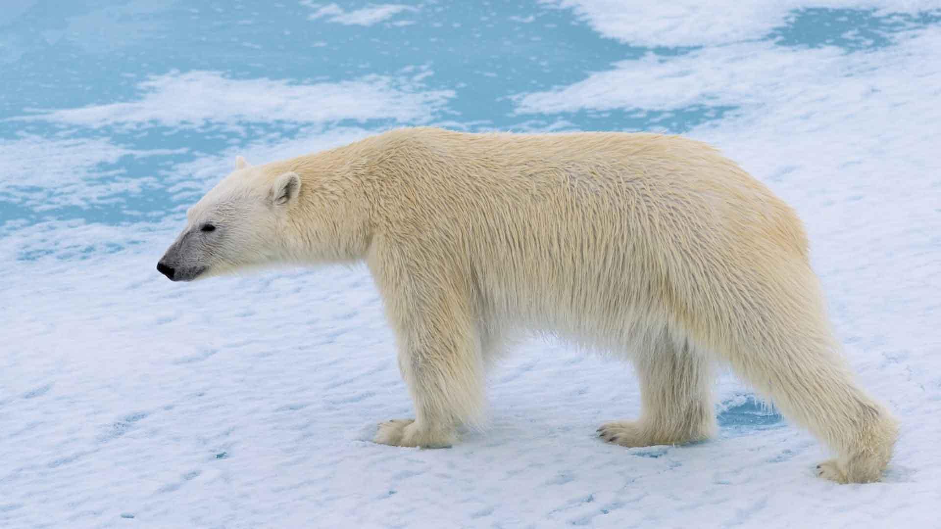 مطالب تکمیلی - خرس قطبی بیچاره